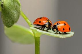 ladybugs-1593406_1920.jpg