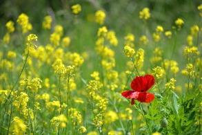 poppy-1819645_960_720